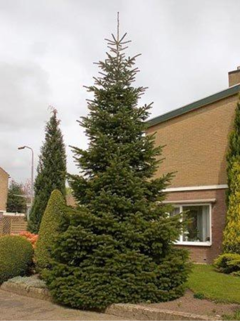 Christmas trees for sale- best prices given for christmas trees